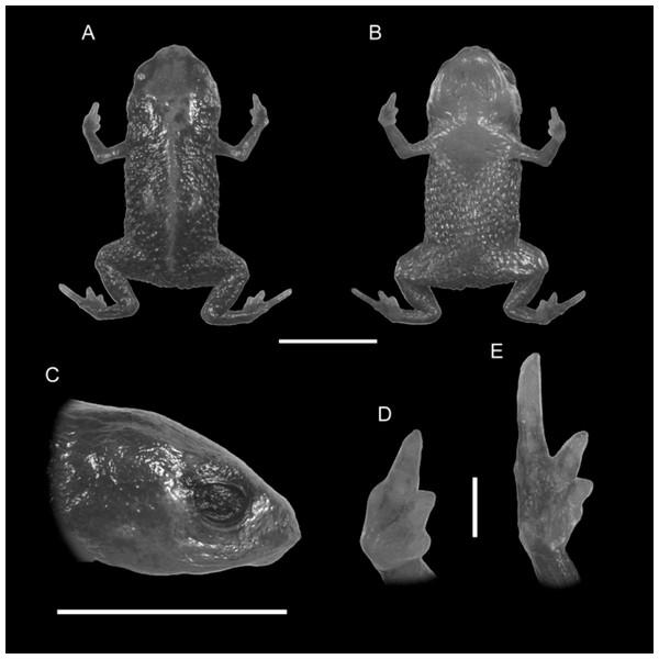 Holotype of Brachycephalus quiririensis (DZUP 172).
