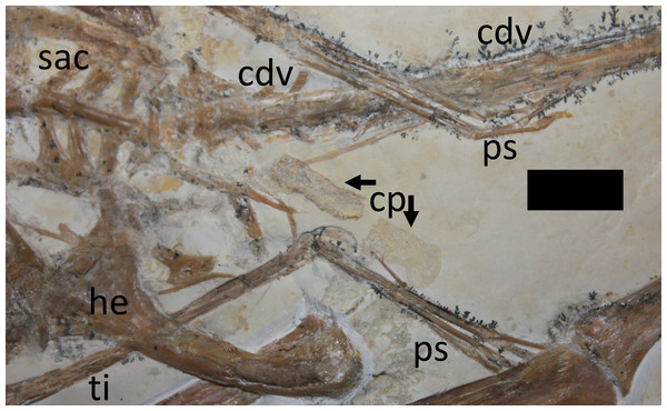 Close-up of hindlimbs and associated region.