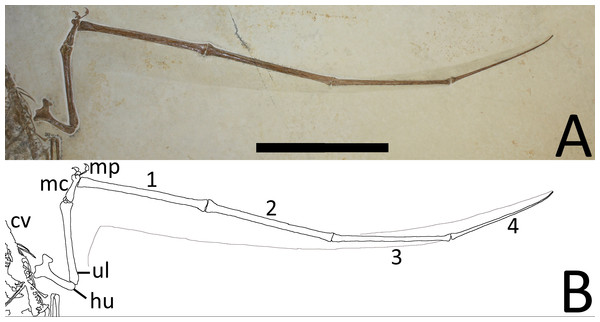 (A) Close-up of the left wing showing preserved membranes. (B) The wing membranes and tail vane are outlined in pale grey and the coprolites are in dark grey.