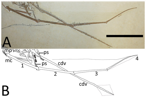 (A) Close-up of the right wing showing preserved membranes. (B) The wing membranes and tail vane are outlined in pale grey and the coprolites are in dark grey.