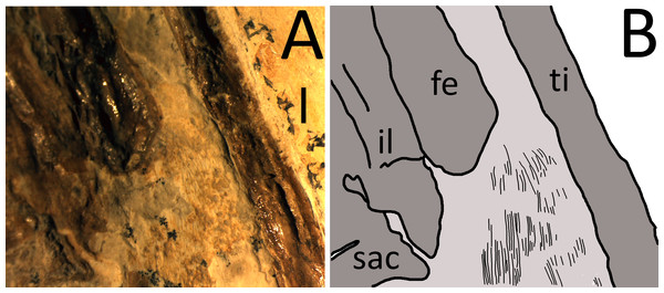 (A) Photograph taken under binocular microscope of fibrils in the uropatagium. (B) Interpretive drawing of the uropatagium (pale grey) and fibrils (black lines).