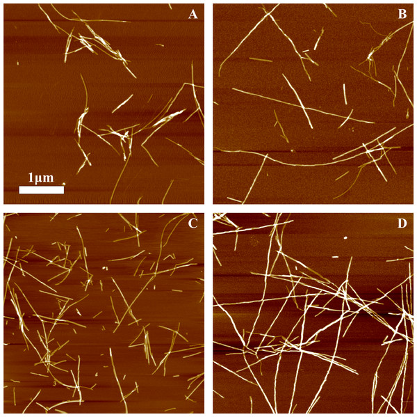 AFM images of rMoPrP amyloid-like aggregates.