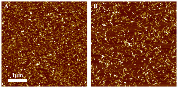 AFM images of rPrP-A4M fibrils after 300 s (A) and 30 s (B) sonication.