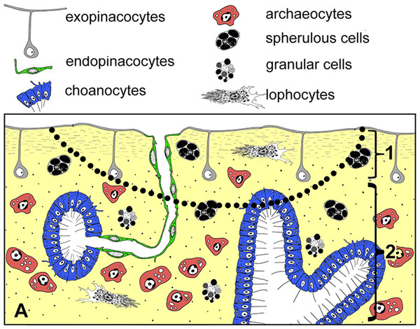 Simplified diagrams of histological organization of Halisarca dujardini: sponge structure and cell composition before injury (A) Dotted line shows the area of excision.