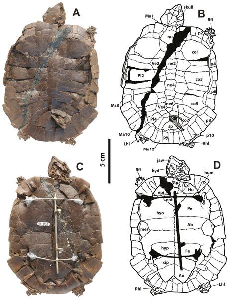 Neochelys franzeni SMF ME 1091 holotype.