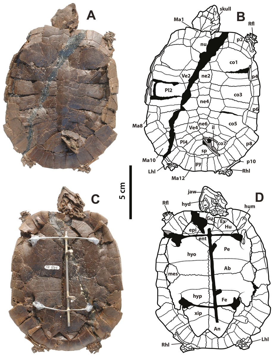 A global phylogeny of Pelomedusoides turtles with new material of ...