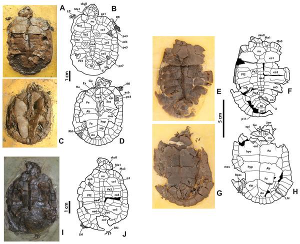Neochelys franzeni HLMD-ME 14981, 15576, and 15375.