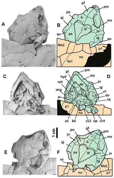 Neochelys franzeni SMF ME 1091 and 715 skulls.