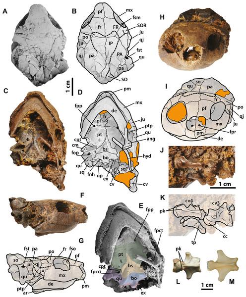 Neochelys franzeni SMF ME 1267 skull and extant podocnemidids.