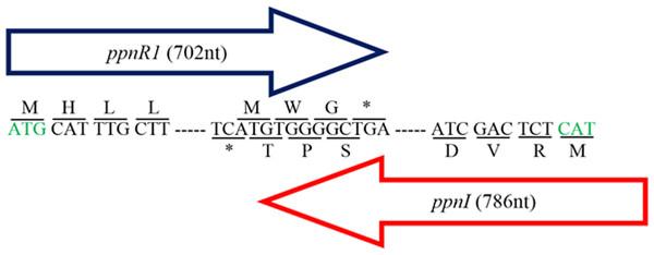 Gene map showing organization of ppnR1 (luxR homolog) and ppnI (luxI homolog).