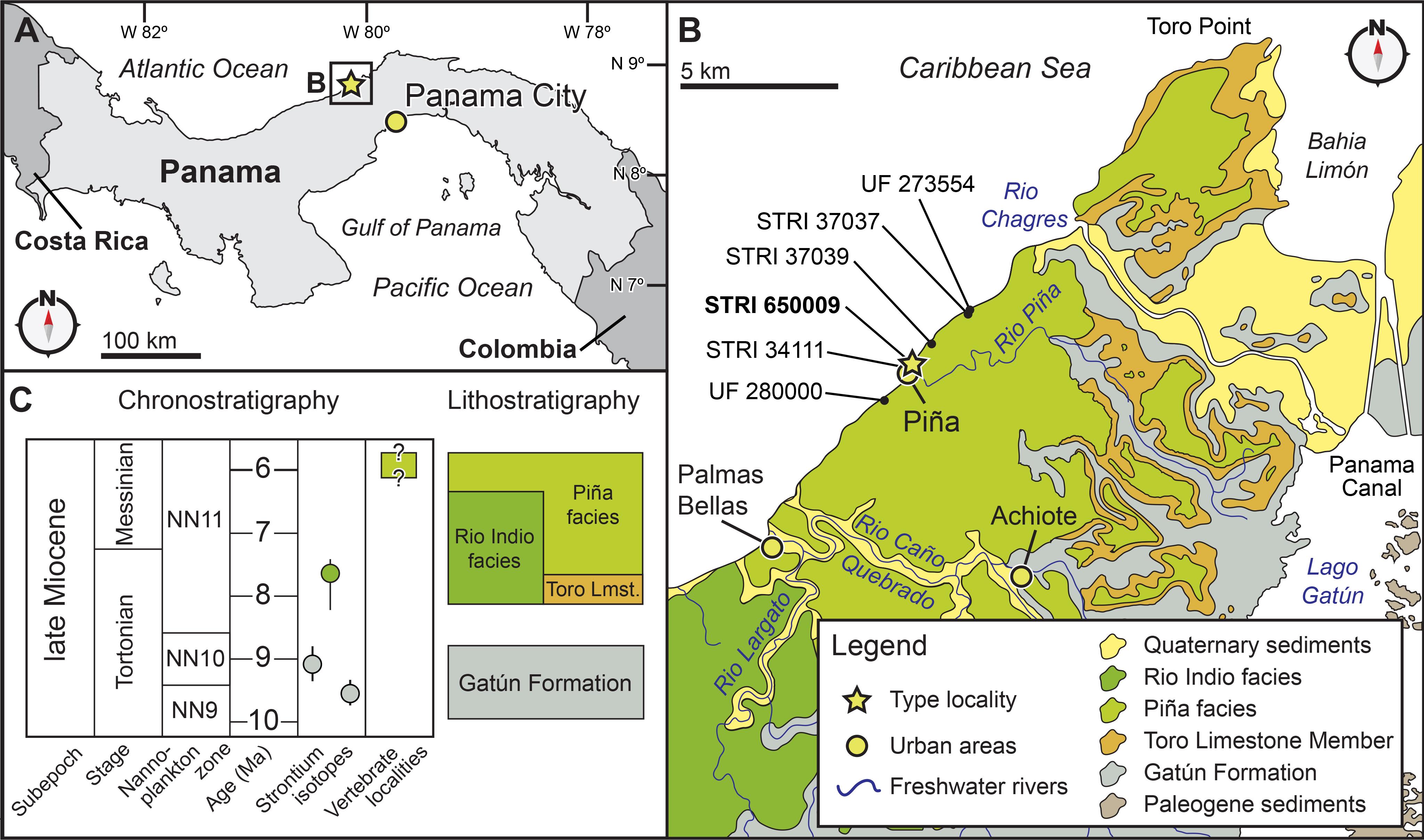 Isthminia panamensis, a new fossil inioid (Mammalia, Cetacea) from ...