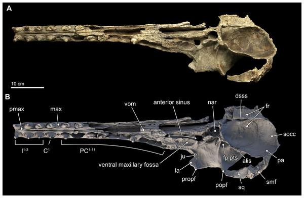 Skull in ventral view.