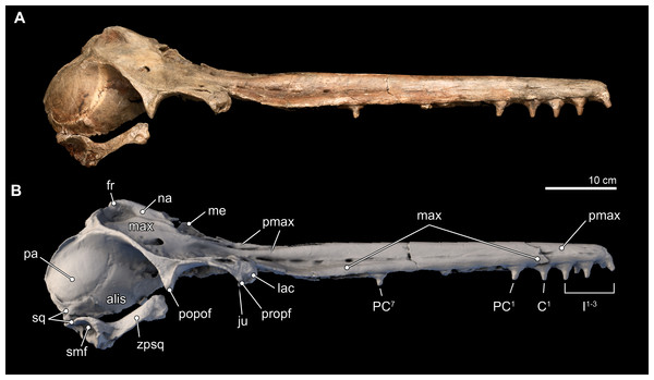 Skull in lateral view.