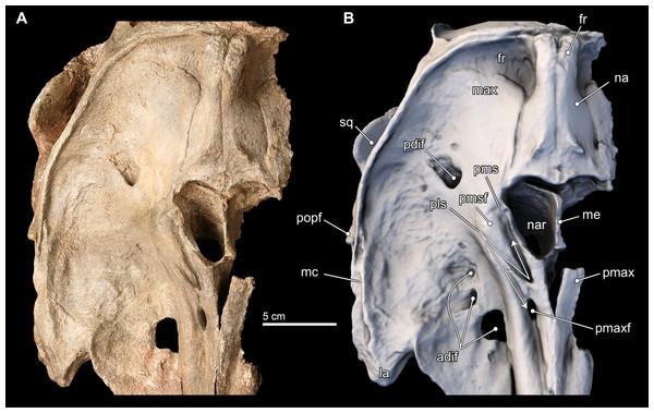 Isthminia panamensis, a new fossil inioid (Mammalia ...