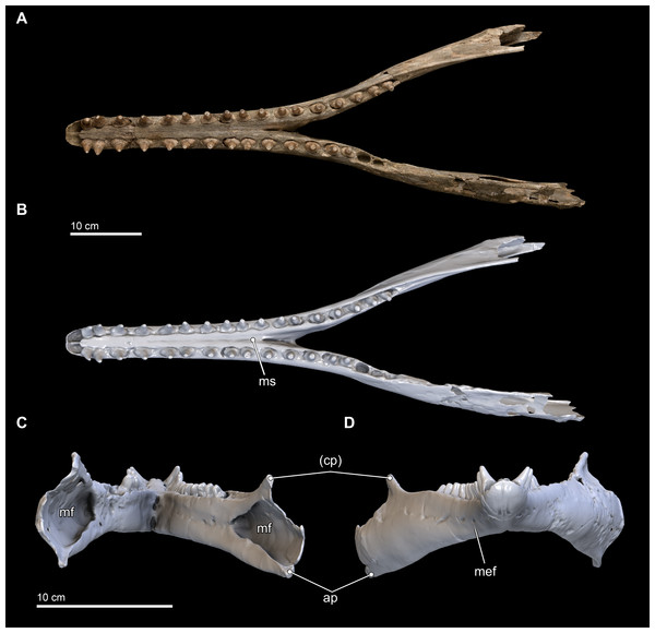 Mandibles in dorsal, anterior, and posterior views.