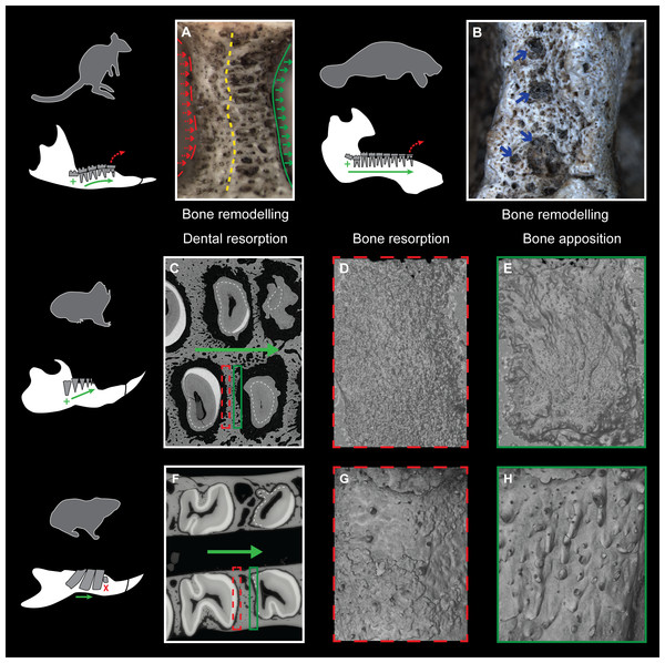 Consequences of dental mesial drift on bone tissues in the pygmy rock-wallaby, the manatee, and the silvery mole-rat compared with the felou gundi.