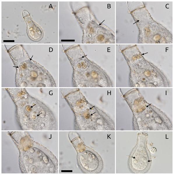 Kleptosquamy in Padaungiella lageniformis.