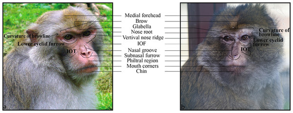 An illustration of key facial landmarks for Barbary (B) and rhesus (A) macaques.