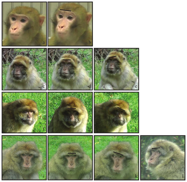 An illustration of the different AU1+2 in Barbary macaques compared to rhesus macaques.