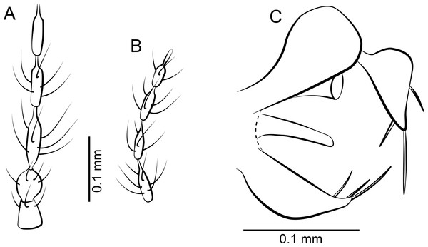 Parasycorax simplex n. sp. ♂.