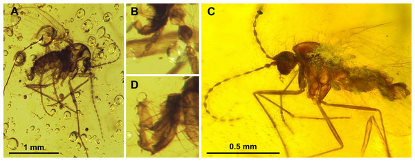 Sycoracinae.