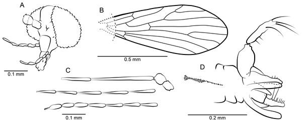 Phlebotomites aphoe n. sp. ♂.