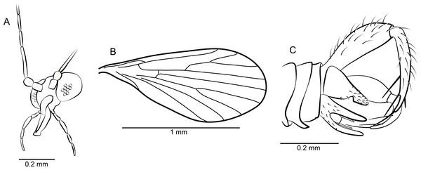 Phlebotomus vetus n. sp. ♂.
