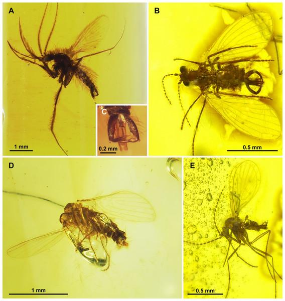 Bruchomyiinae, Sycoracinae and subfamily incertae sedis.