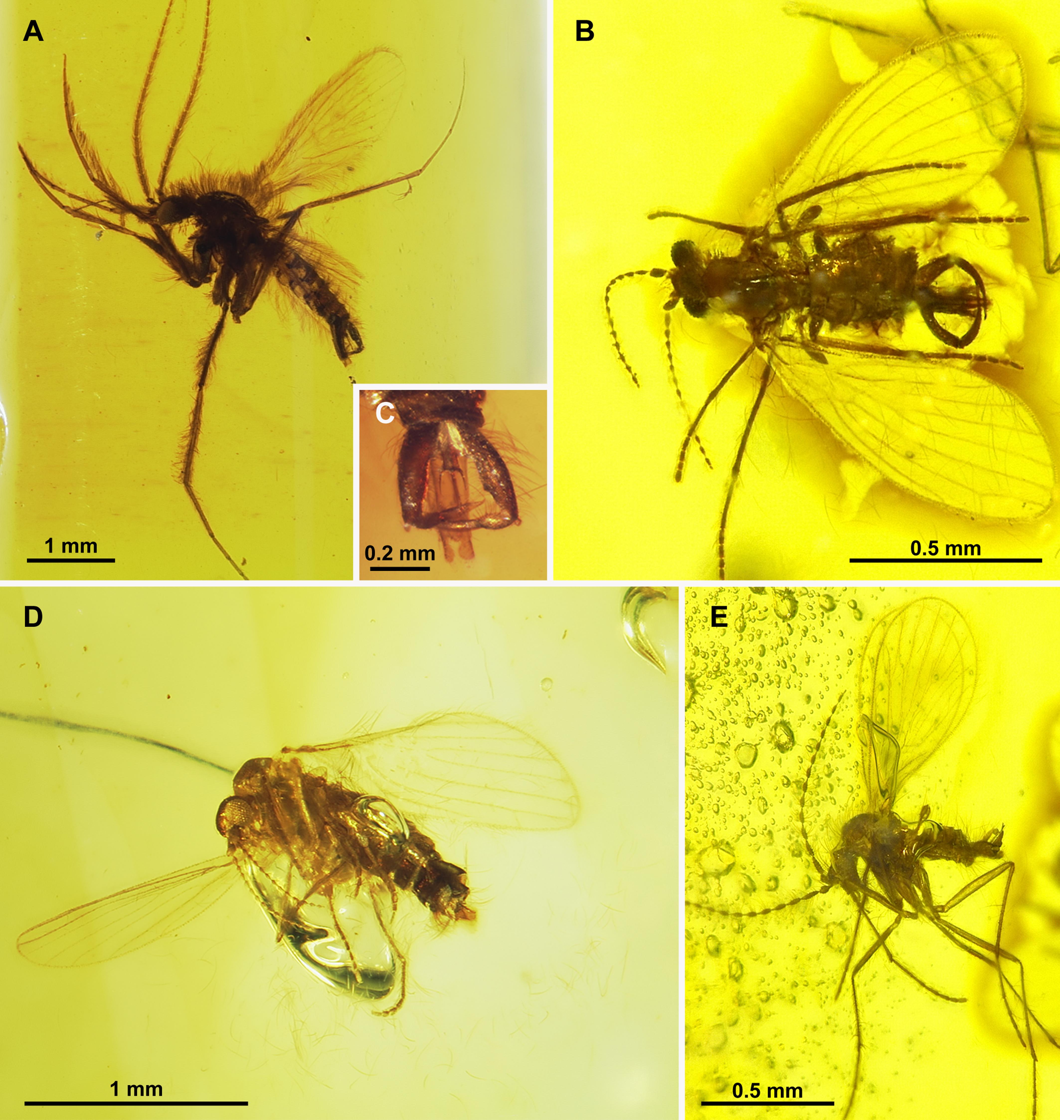 c0ec5bc83736 Moth flies and sand flies (Diptera  Psychodidae) in Cretaceous ...
