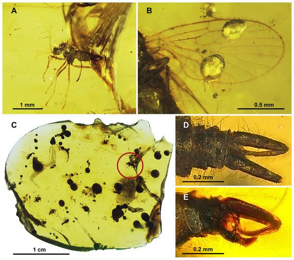 Protopsychodinae n. subfam.