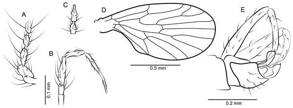 Datzia setosa n. sp. ♂.