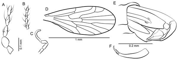 Mandalayia beumersorum n. sp. ♂.