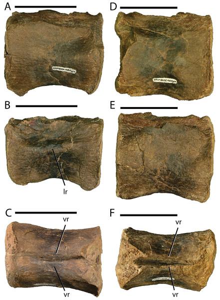 Caudal vertebrae of Dakotadon lakotaensis (SDSM 8656).