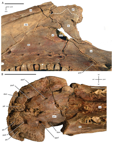 Close ups of the anterior portion of the skull of Dakotadon lakotaensis (SDSM 8656).