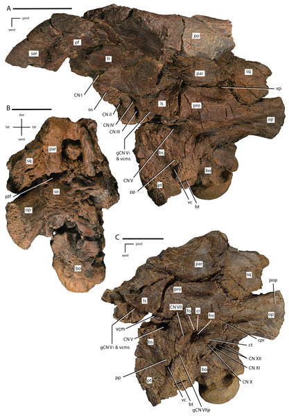 Braincase of Dakotadon lakotaensis (SDSM 8656).