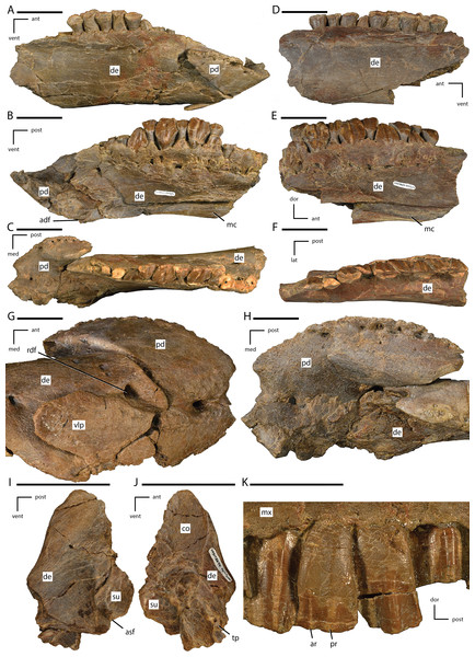 Preserved portions of the lower jaw and close up of maxillary dentition of Dakotadon lakotaensis (SDSM 8656).
