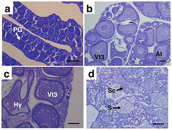 Photomicrograph of toluidine blue stained gonad cross sections of Mycteroperca olfax.