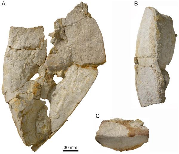Peripherals of Thalassemys bruntrutana.