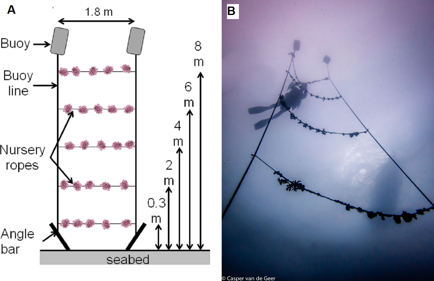 Testing animal-assisted cleaning prior to transplantation in coral