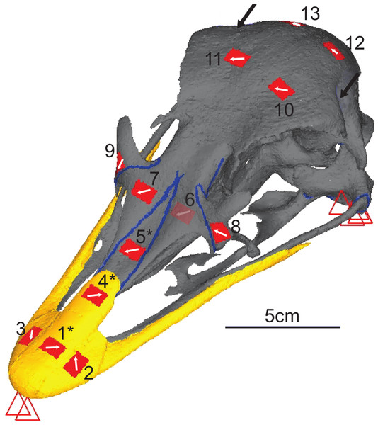 Digital reconstruction of the ostrich skull.