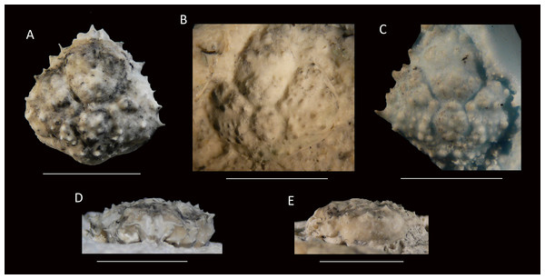 Type specimens of Mithrax arawakum sp. nov. from the lower Miocene coral-associated limestones of the Montpelier Formation in the Duncans Quarry, Jamaica.