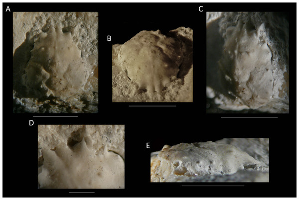The holotype of Nemausa donovani (Portell & Collins, 2004) from the lower Miocene coral-associated limestones of the Montpelier Formation in the Duncans Quarry, Jamaica (UF 103958).