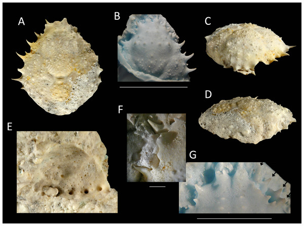 The holotype of Nemausa windsorae sp. nov. from the lower Miocene coral-associated limestones of the Montpelier Formation in the Duncans Quarry, Jamaica (UF 113651).