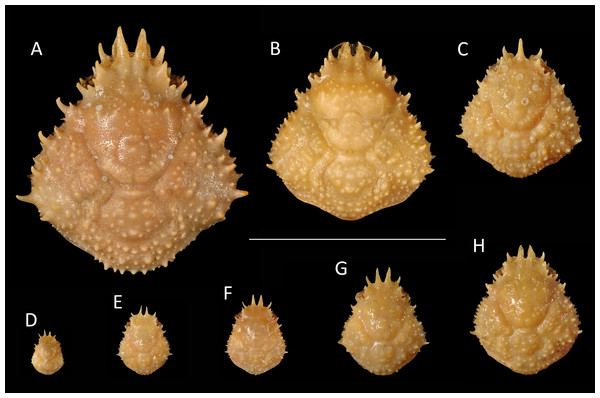 Growth series of dorsal carapaces of modern Nemausa acuticornis (Stimpson, 1871) from various localities of the Atlantic coast of Florida, USA.