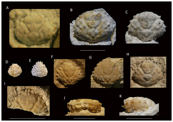 Growth series of dorsal carapaces of Damithrax unguis (Portell & Collins, 2004) from the lower Miocene coral-associated limestones of the Montpelier Formation in the Duncans Quarry, Jamaica.