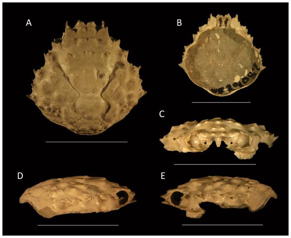 Damithrax cf. pleuracanthus from the late Pliocene–early Pleistocene of the MacAsphalt Shell Pit, Sarasota County, Florida, USA (UF 29057).