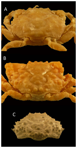 Posterior views of similar-sized, modern specimens and a single fossil specimen of Damithrax spp.
