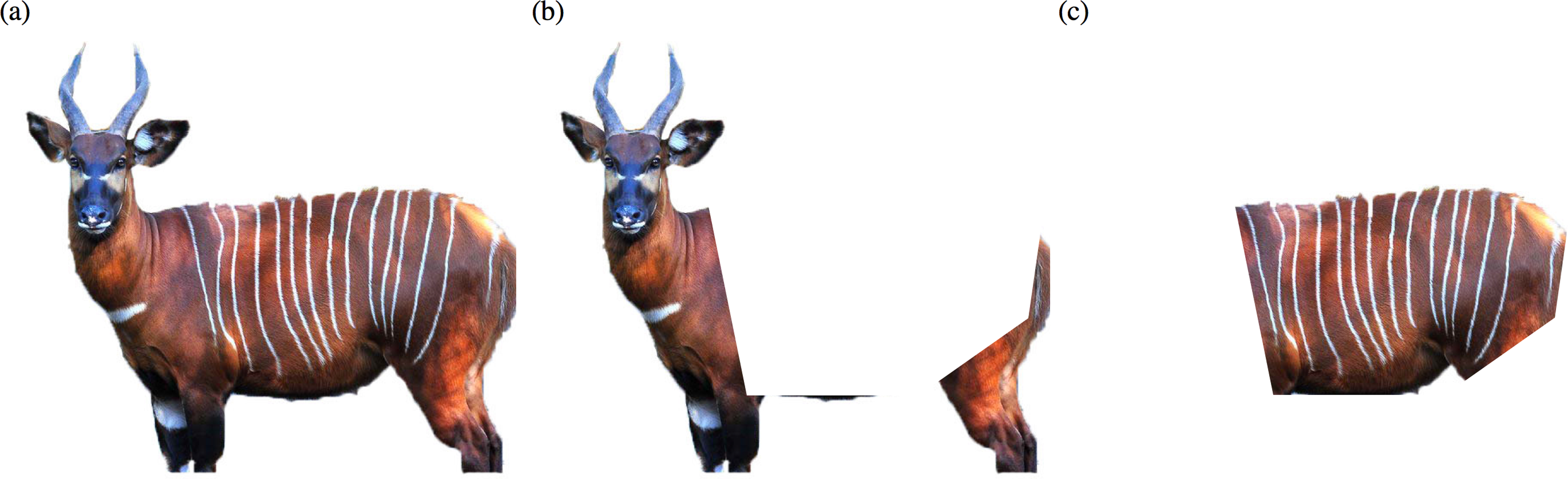 Factors affecting the identification of individual mountain bongo