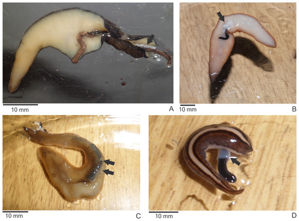Native land planarians consuming Endeavouria septemlineata in experiments in the laboratory.
