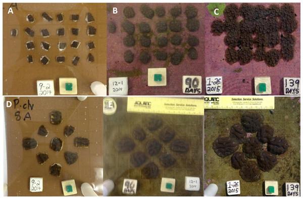Orbicella faveolata and Pseudodiploria clivosa fusion experiments.